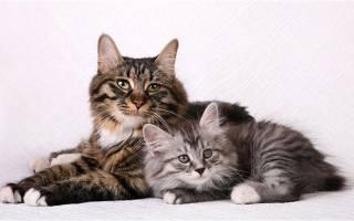 Курильский бобтейл: порода кошки с коротким хвостом