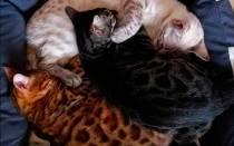 Разновидности окрасов бенгальских кошек с фотографиями