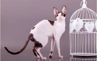 Корниш-рекс – кошка в каракулевой шубке