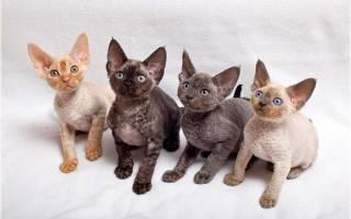 Девон-рекс – девонширская кудрявая кошка