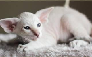 Петерболд: описание кошки с фото