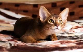 Абиссинская кошка – домашняя версия пумы