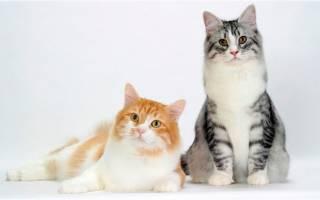 Сибирская кошка: русская красавица покорившая заграницу