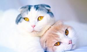 Скоттиш-фолд или шотландская вислоухая кошка