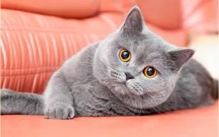 Британская короткошерстная порода кошек