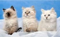 Невская маскарадная кошка – голубоглазый сибиряк в «маске»