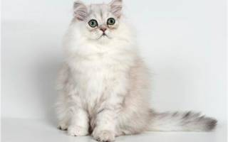 Персидская шиншилла кошка: фото и описание породы