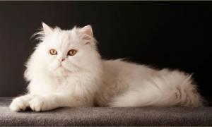 Персидская кошка: фото и описание породы