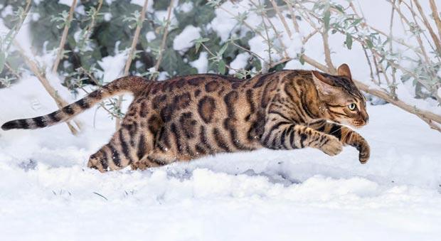 Бенгальский кот бежит по снегу