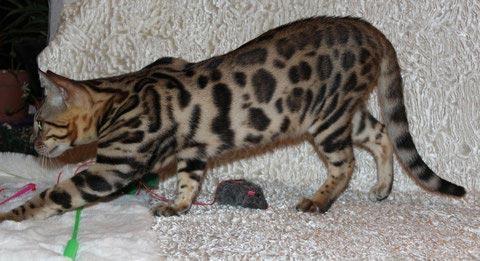 Бенгальский котенок в 6 месяцев