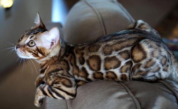 Бенгальский котенок на диване