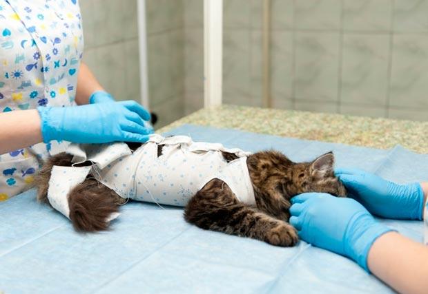 Кошке завязывают попону