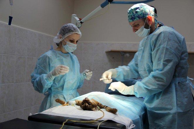 Процедура стерилизации кошки