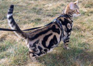 Бенгальский кот мрамор на золоте