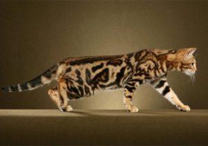Бенгальский кот окраса мраморное золото