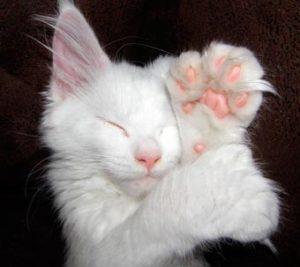 Многопалость у котенка