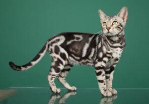 Бенгальский кот окраса мраморное серебро