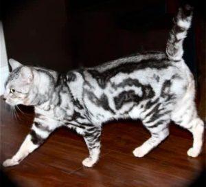 Бенгальская кошка окраса мраморное серебро