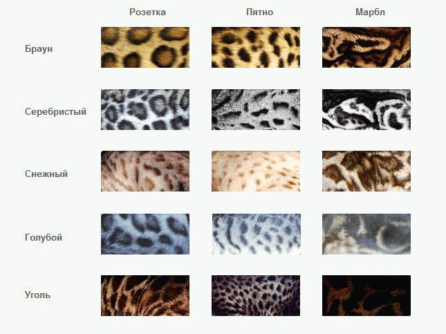 Таблица окрасов бенгальских кошек