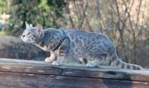 Бенгальский кот голубого окраса