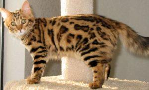 Бенгальская длинношерстная кошка
