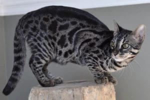 Бенгальский кот окраса угольный