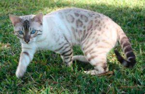 Снежный бенгальский кот окраса линк
