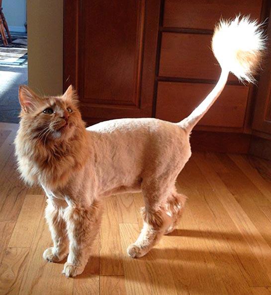 Стрижка кота на подобии льва