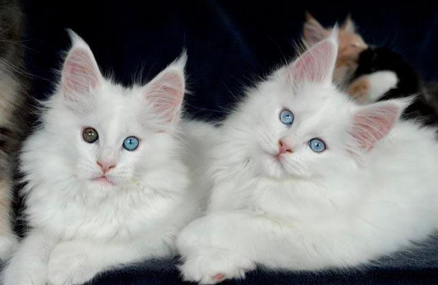 Белые мейн-куны с разноцветными глазами и голубыми