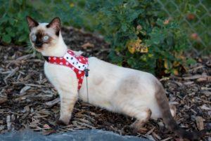 Бенагальская кошка меланистик
