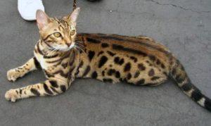 Бенгальский кот пятнистой расцветки