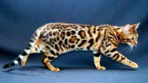 Бенгальский кот розетчатого окраса