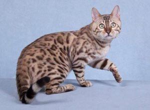 Снежный бенгальский кот окраса сепия