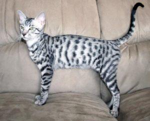 Бенгальский серебряный кот