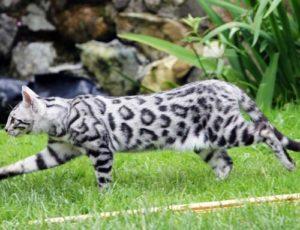 Бенгальский кот розетка на серебре