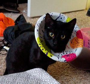 Кошка в воротнике из тарелки