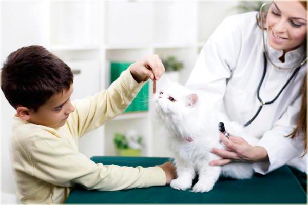 Здоровье кошек породы персидская шиншилла