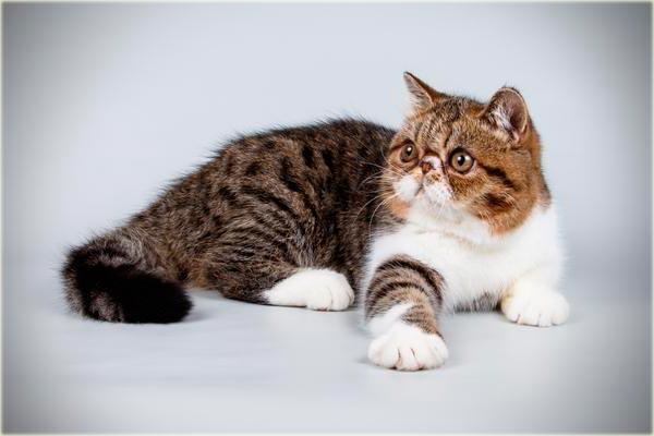 Персидский кот экзот фото
