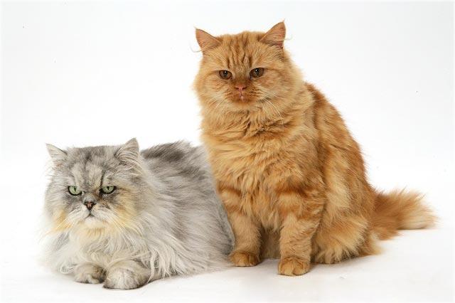 Фото золотой и серебряной персидских шиншилл кошек
