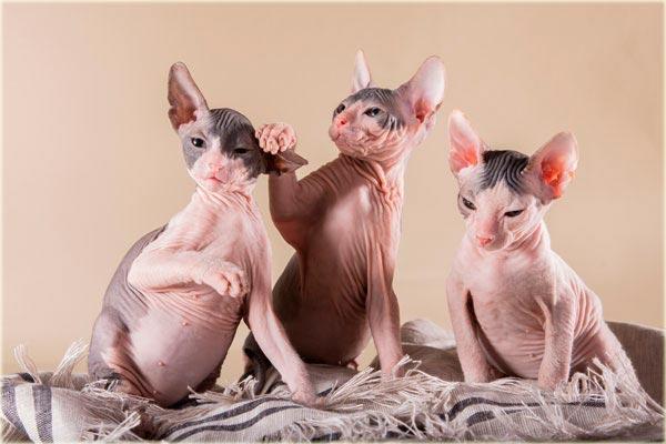 Котята породы сфинкс фото