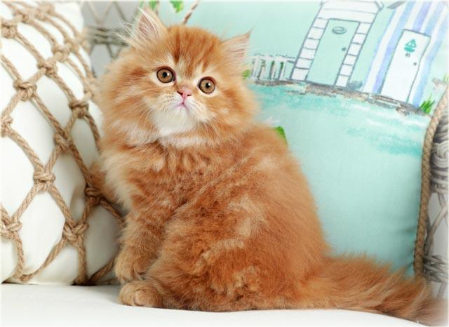 Красная персидская кошка