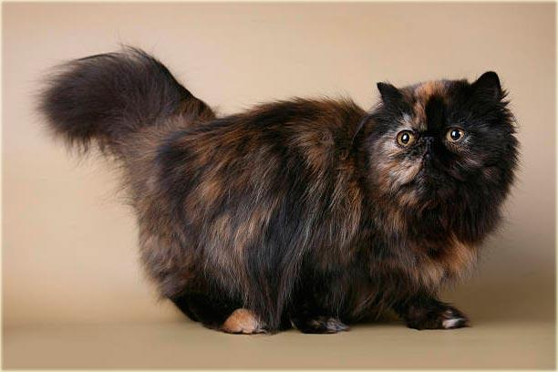 Черепаховая персидская кошка