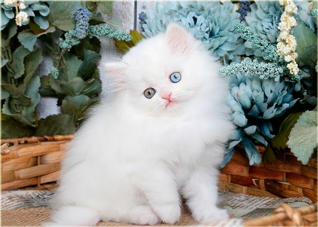 Белый персидский котенок с разными глазами
