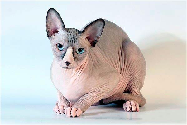 Порода сфинкс кошка