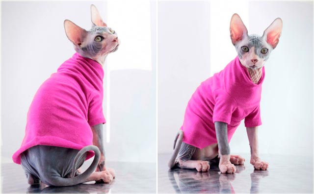 Сфинкс кошка в одежде