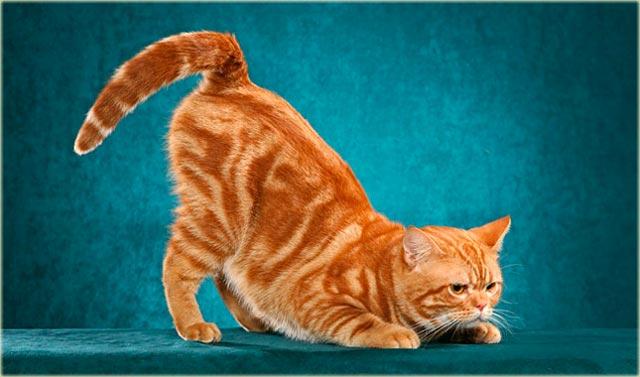 Британский кот окраса табби