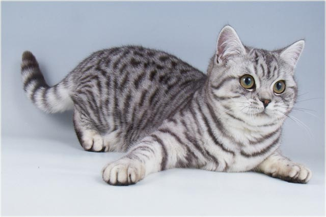 Британский кот окраса вискас