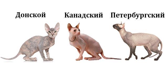 Разновидности котов сфинксов