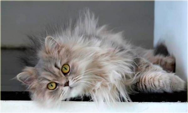 Классическая персидская кошка