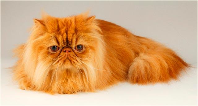 Рыжая персидская кошка